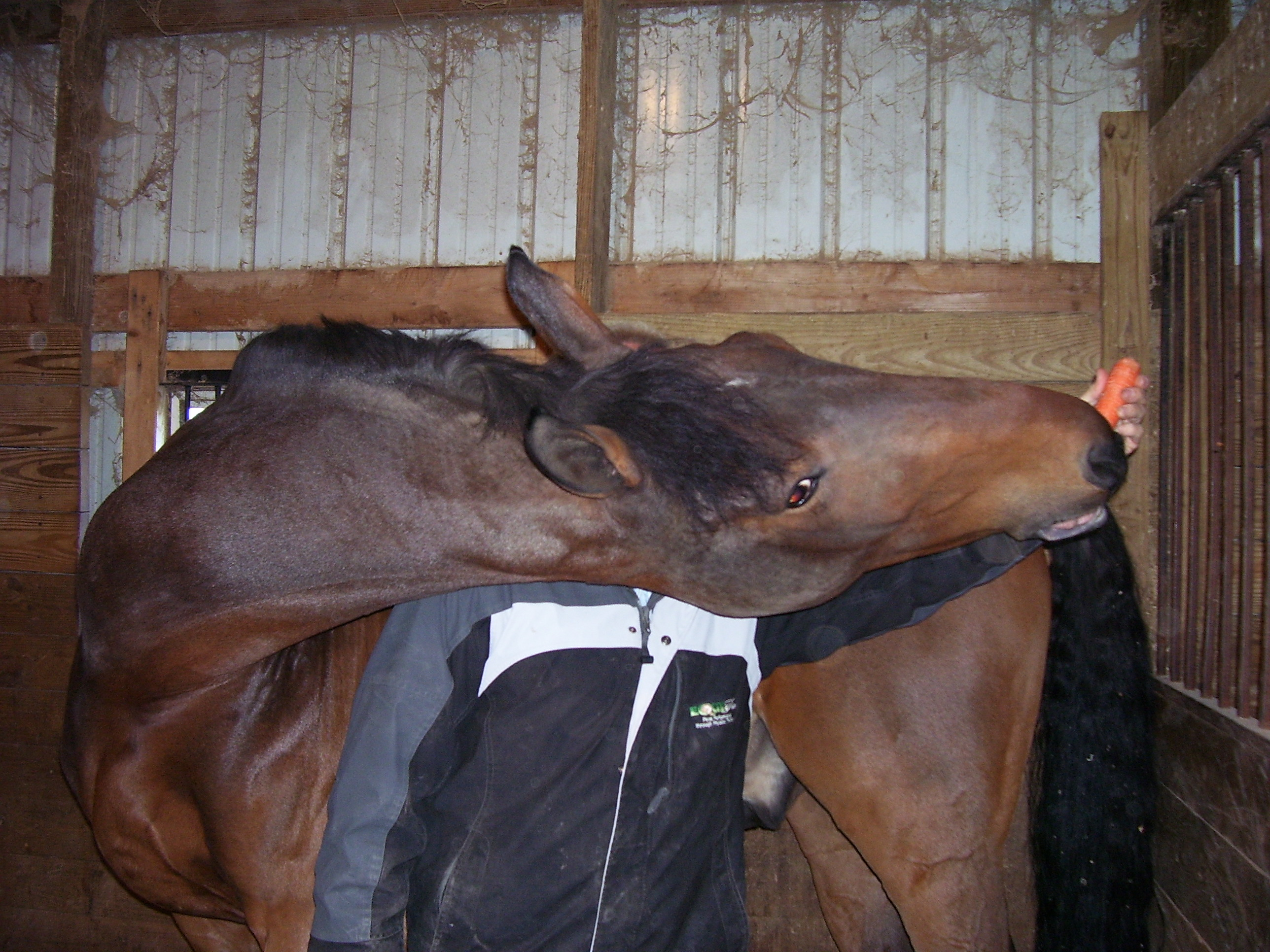 Equine physical therapy - Equither Peak Performance Through Physical Therapy Equine Massage Stretching